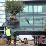 Mature tree planting Watford