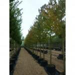 Mature tree planting Croxley Green