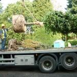 Mature tree planting Sarratt, Herts