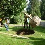 Mature tree planting Hemel Hempstead, Herts