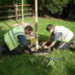 Mature tree planting Bovingdon, Herts