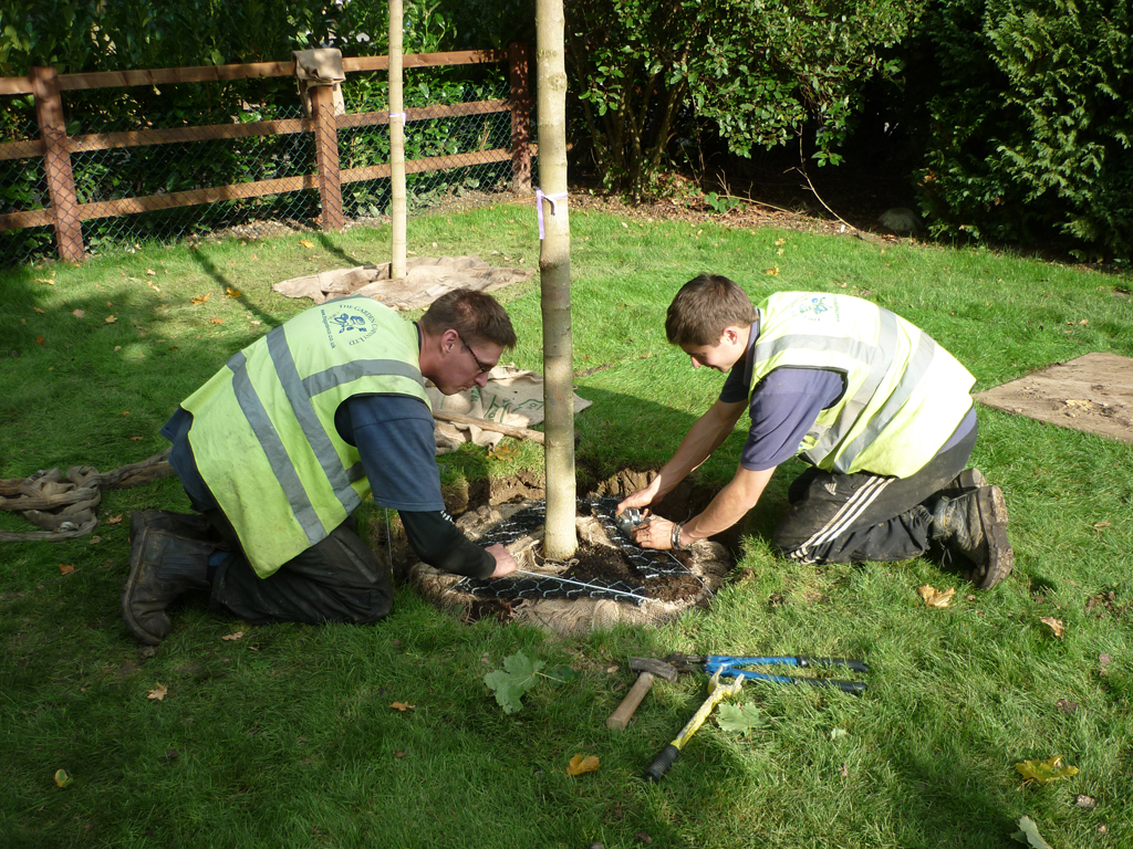 Mature tree planting Bovingdon, Herts