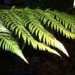 Downlit tree fern