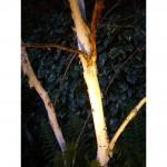 Uplit Betula jacqumontii