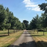 Lime Tree Avenue 8 years on from planting – August 2016