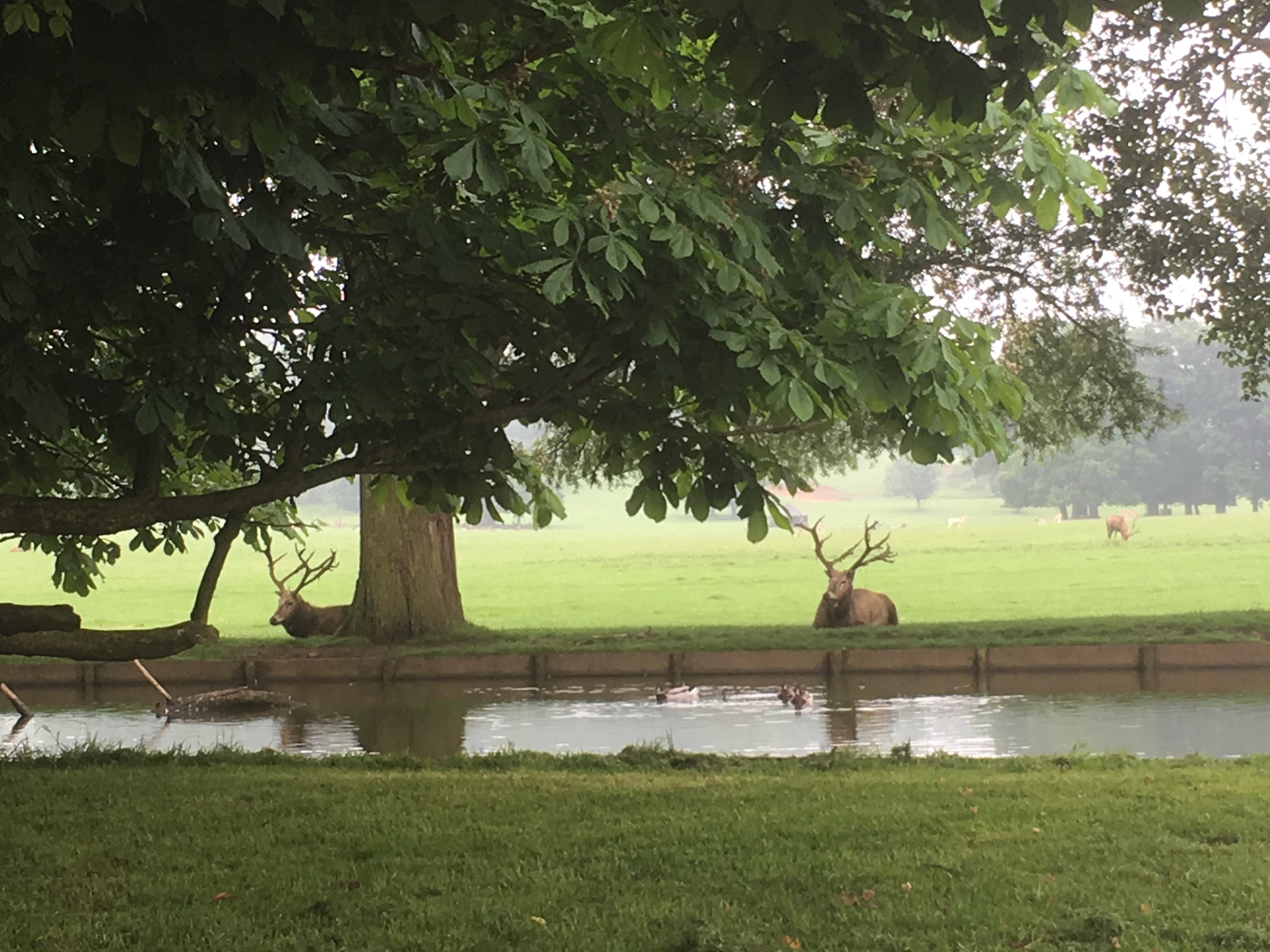 Pond and timeless sceene with deer