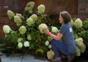 Gardener with hydrangeas