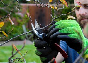Hands shown pruning