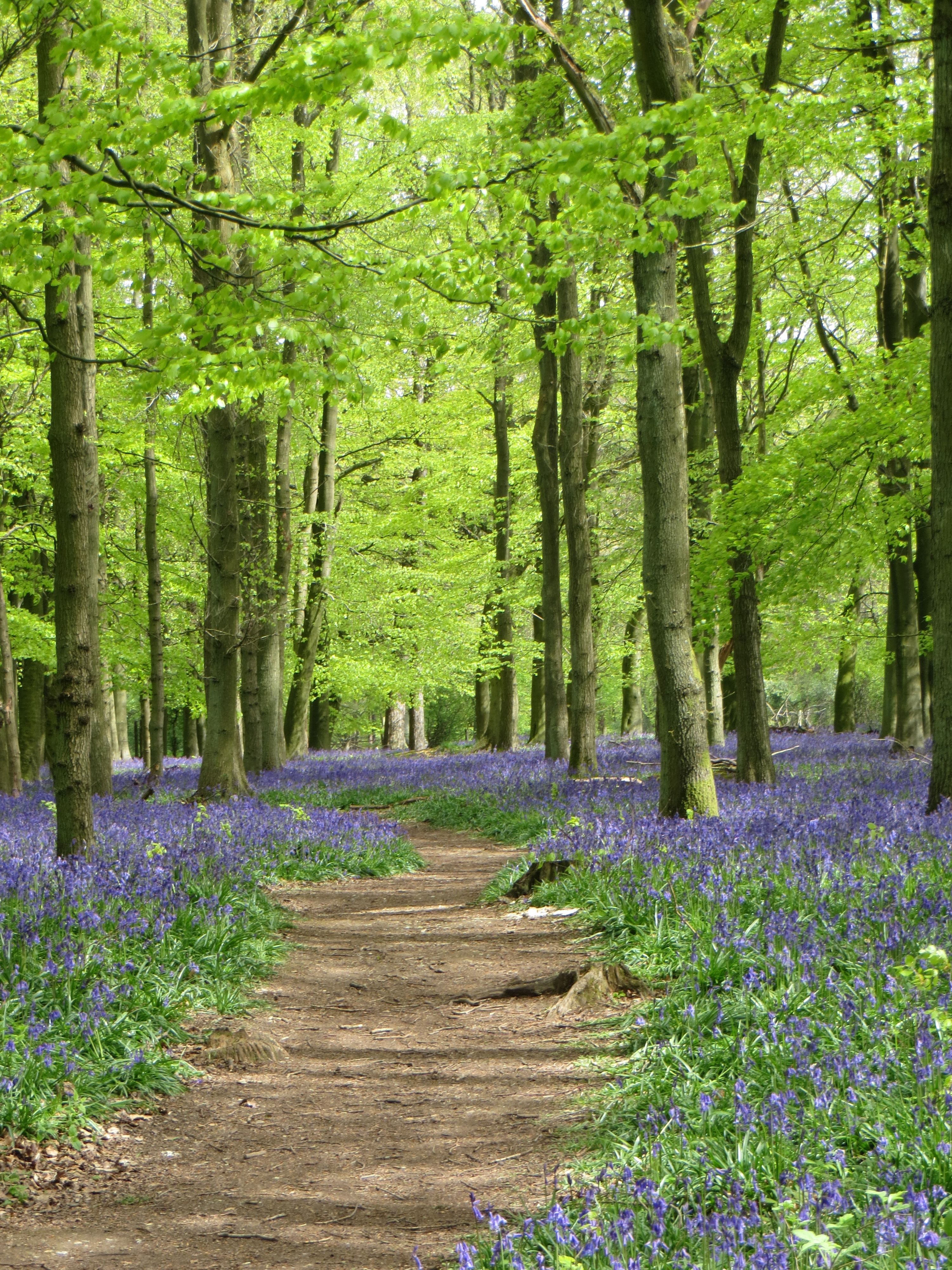 Blue bells with beech trees, taken this morning at Ashridge Estate, Hertfordshire.